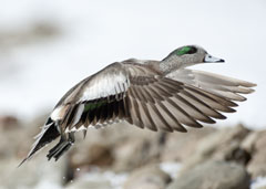 An American wigeon in flight