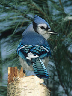 A bluejay sitting on a birch stump