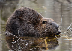 A beaver sitting in shallow water