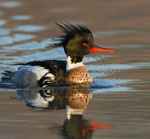 A red-breasted merganser floating in the water.