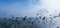 Waterfowl take flight from the foggy lake surface