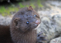 An inquisitive mink