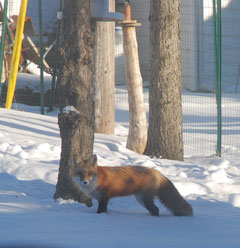 A fox standing in the snow beneath a bird feeder