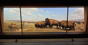 A museum diorama showing bison and other animals on the plains