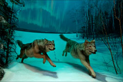 A diorama of two wolves running over the snow with the northern lights in the background.