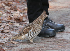 A grouse next to a hiker's feet