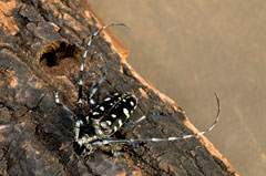 A black and white beetle with long antennae on a log