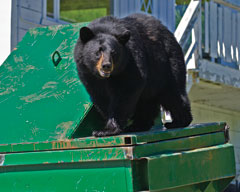 A black bear on top of a green dumpster
