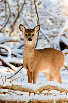 A doe standing in a snow-covered woods
