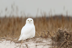 A snowy owl sitting on a dune