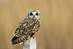 A short-eared owl sitting on top of a post