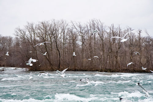 Many gulls circling above choppy water during winter