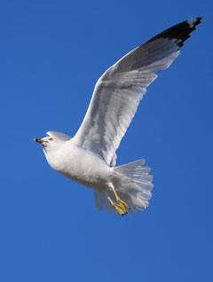 A white gull with black tipped wings in flight