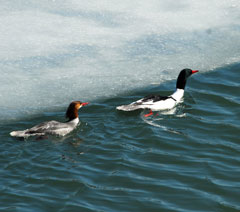 Two common mergansers swim in the water along a sheet of ice