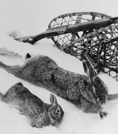 A European hare and a cottontail hare (both dead) lie side by side in the snow