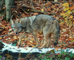 A coyote in the woods during fall
