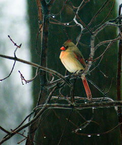 A female cardinal sittingon a branch in winter