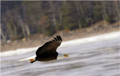 A bald eagle in flight over water