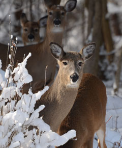 Four deer, one with head down standing in the woods in the snow