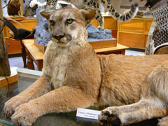 A mountain lion mount on a table