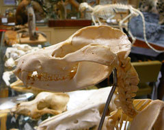 The mounted skull of a mountain lion
