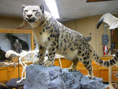 A mount of a snow leopard in a natural history museum