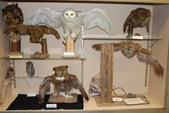 A collection of mounted owls in a display case