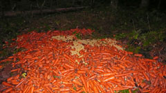 A huge pile of carrots on the ground