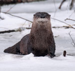 Ariver otter sitting in the snow