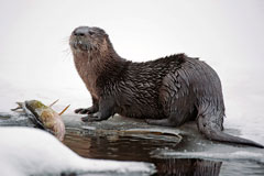 A river otter on the ice by a dead fish