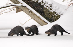 Three river otters walking on the snow