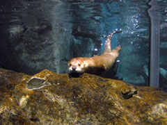 A river otter underwater in a tank