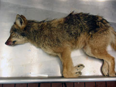 A dead coyote lying on a steel table