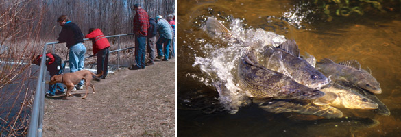 Visitors watching fish at Conesus (copyright Matthew Sanderson) and spawning walleyes