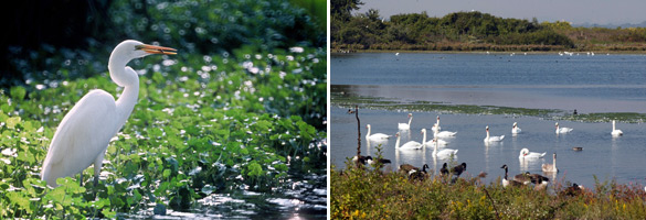 Jamaica Bay images: Snowy egret and swans and geese on the water