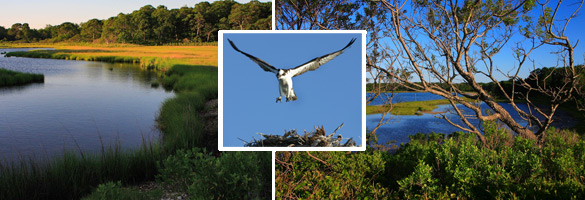 Images of Mashomack Preserve: marshes,osprey landing on nest and coastal forest