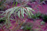 Close up of small green plant, willow with pink background