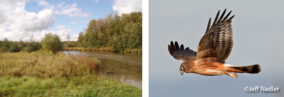 Marshlands, Northern Harrier