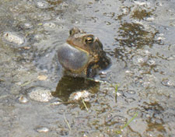 An Eastern spadefoot in a muddy pond