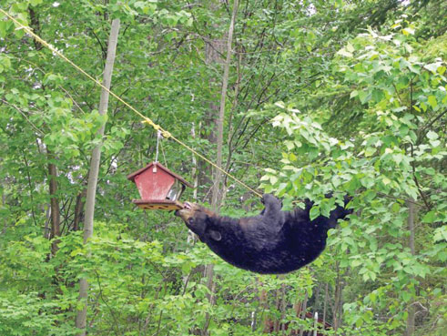 bear climbing to a bird feeder
