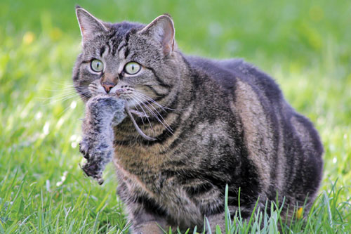cat carrying a mouse in its mouth