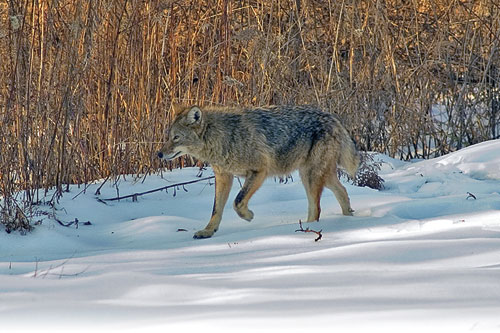 coyote walking on snow