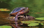 painted turtle on a log