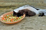 skunk being fed from a bowl