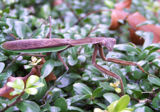 Chinese mantis on green leaves