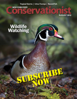 One of New York's most colorful waterfowl, the wood duck, on the cover of DEC's Conservationist magazine.