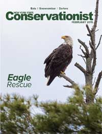 A bald eagle graces the cover of the February 2015 Conservationist
