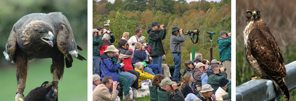 golden eagle, bird watchers, red-tailed hawk