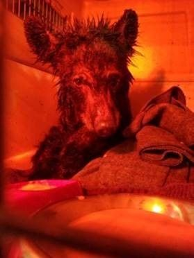 Bear cub in a wildlife crate under a heatlamp and blanket