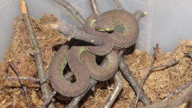 Brown pit viper coiled up in its terrarium